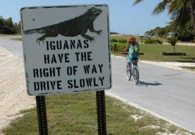 Vorfahrt für Leguane