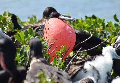 Antigua_Frigate-Bird
