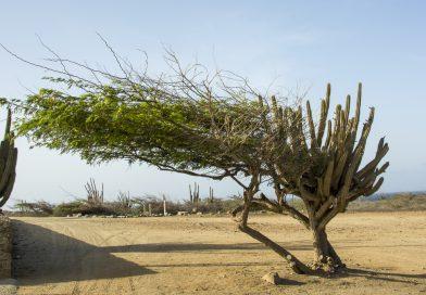 Aruba_Alto_Vista_Baum
