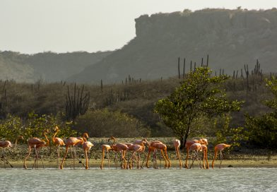Curacao_Flamingos_Salina_Sinta_Marie