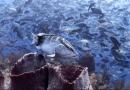 Bedrohte Nassau-Zackenbarsch-Population erholt sich langsam