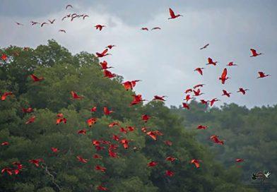 Trinidad_Scharlachroter_Ibis