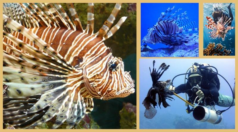 Der Feuerfisch - schön, giftig und eine Gefahr für die ...