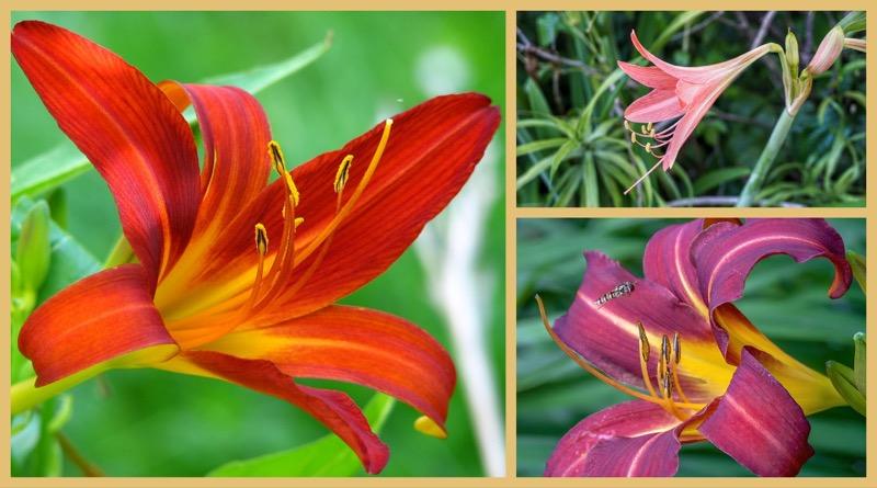 Pflanzenwelt Karibik – die Barbados Lilie