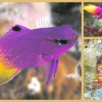 Meereswelt Karibik – der Königs-Feenbarsch