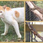 Little Cayman – seltene Cayman Leguan-Babys von verwilderten Hauskatzen bedroht